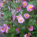 2009 10 13 Chrysanthème d'automne en fleurs (5)