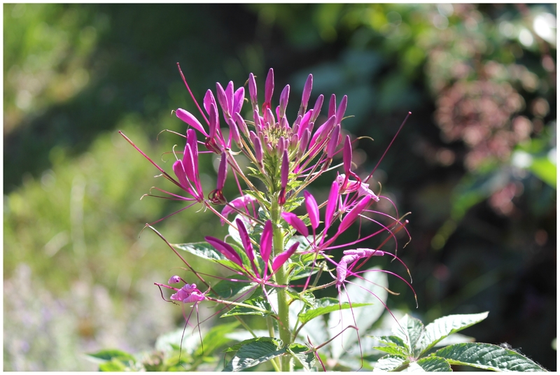 cleome cherry queen (4)