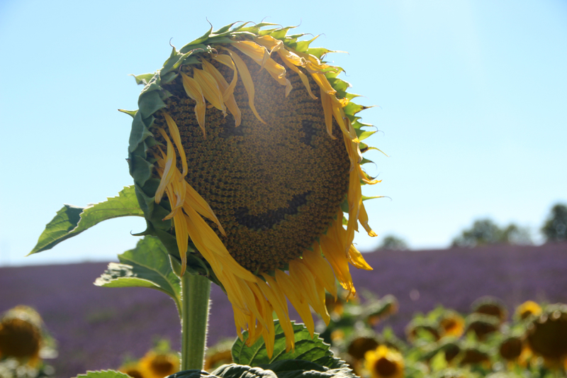 tournesol_smiley