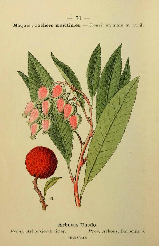 arbousier-fraisier-arbustus-unedo