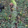 Daedaleopsis tricolor (3)