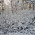 2009 12 14 Le sous bois au Pied du Mont Mézenc sous le givre