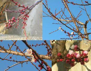 abricotierenfleurs