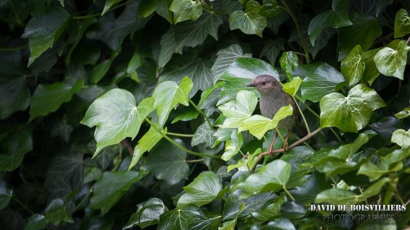 Accenteur mouchet (Prunella modularis - Dunnock)