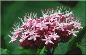 clerodendron5