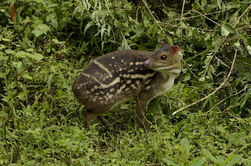 Indian_spotted_chevrotain_Moschiola_indica_Mouse_deer_from_the_Anaimalai_hills_DSC9927_03