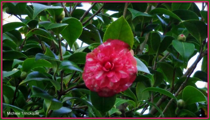 Camélia rose et blanc de décembre