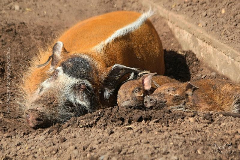 Potamochoerus porcus ♀