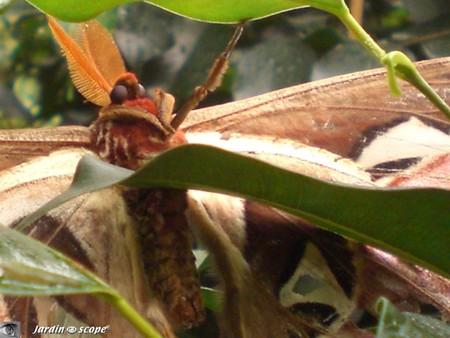 Antennes pectinées de l'Attacus atlas • Saturniidae