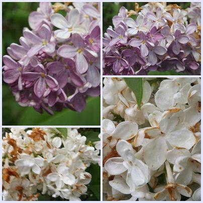 Fleurs 30 mai 2013 (5)