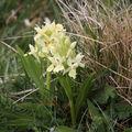2009 05 01 Fleurs d'orchidées sauvages