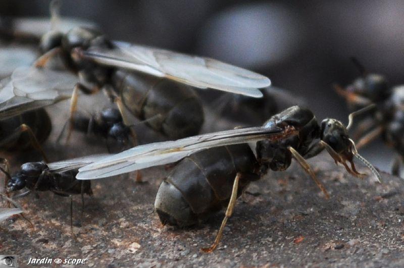 Fourmis noires des jardins • Lasius sp.(niger) • F. Formicidae