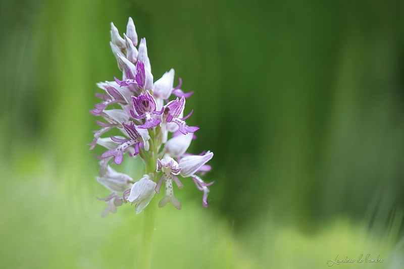 wb_Orchis_20180430_1179