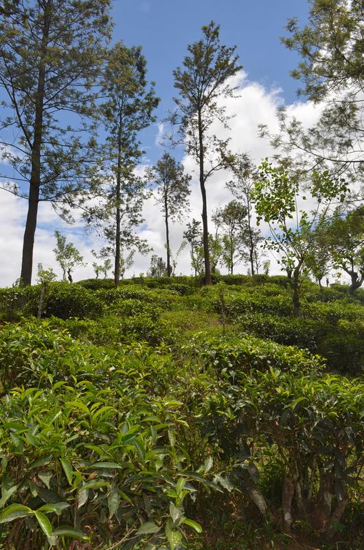 Plantations de thé 01