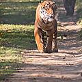 tigre parc des felins