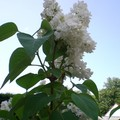 Des arbustes qui parfument nos jardins !