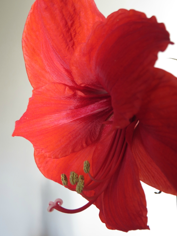 Amaryllis Royal Red