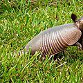 Dasypus novemcinctus - Tatou à neuf bandes