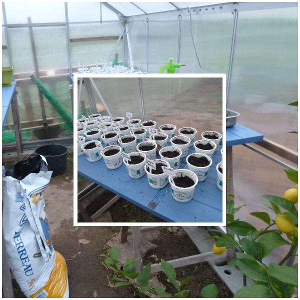 semis tomates poivrons aubergines
