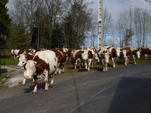 2009 10 26 Les vaches qui traversent la route