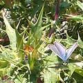 Beau papillon bleu