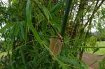 photo 25- Branches chez Bambusa vulgaris
