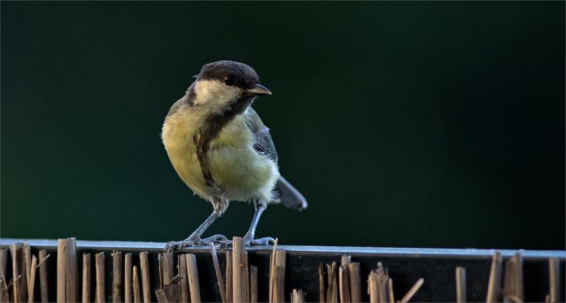 maison oiseau mesanges charbonnières 230718 ym 5