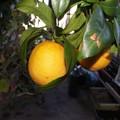 les oranges aussi