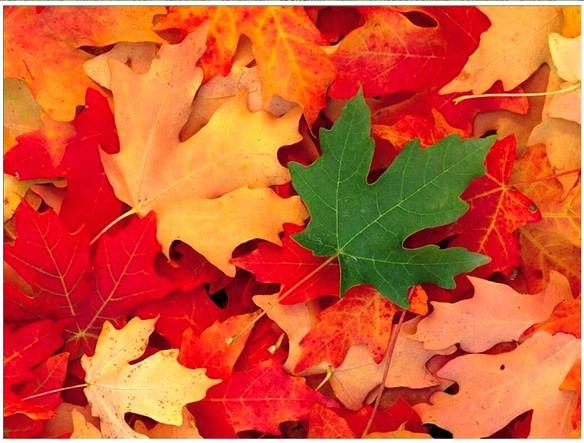 feuilles d'automne ribeauviller-80