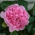 Rosier anglais 'Winchester Cathedral' exceptionnellement rose