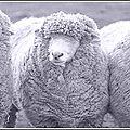 Sommes-nous des moutons ?