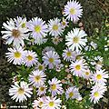 aster_ericoides_cyrille_3