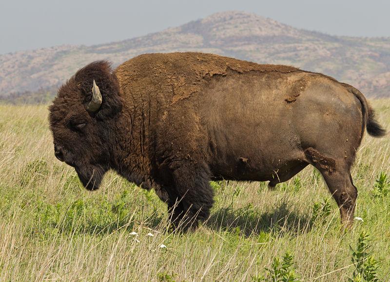 800px-Bison_bison_Wichita_Mountain_Oklahoma