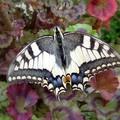papillon (machaon)