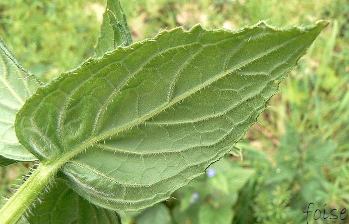 feuilles caulinaires sessiles ovales-acuminées à peine rudes nervures convergentes