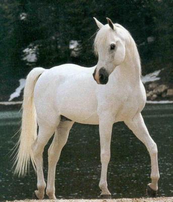 cheval arabe blanc