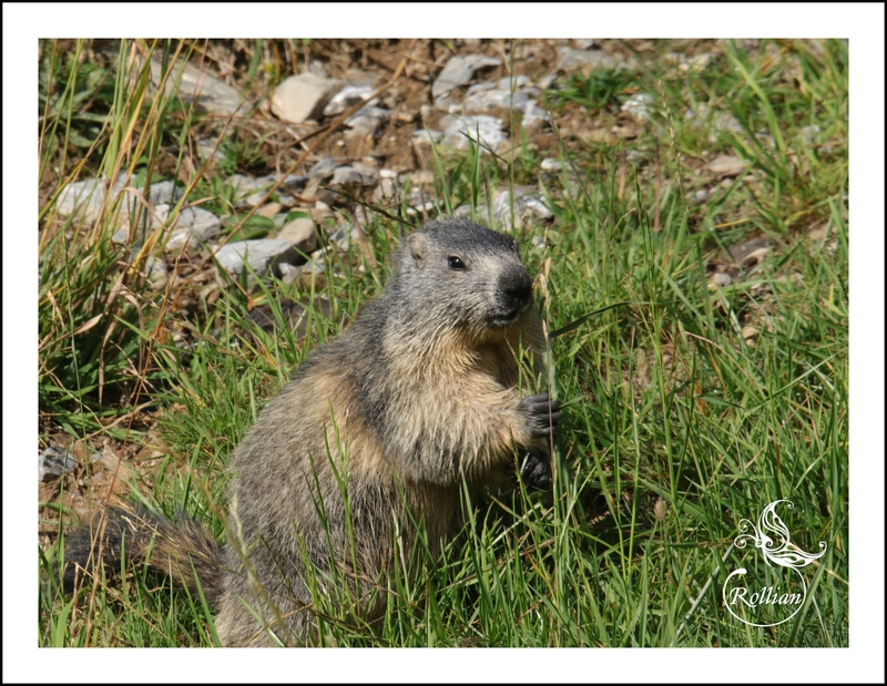 Famille marmotte 1