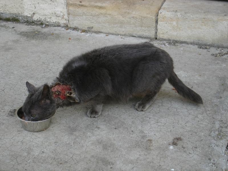 gros chat gris blessé 010