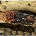 L'élevage de la couleuvre diadème royal
