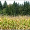 P04 champ de maïs