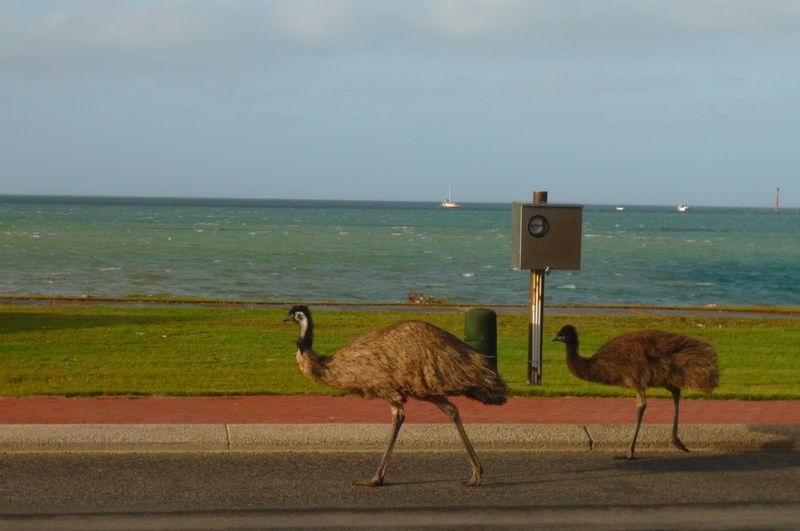 Emeus sur la route