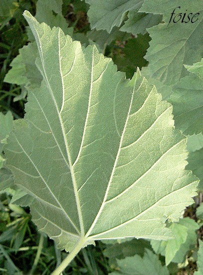feuilles pubescentes