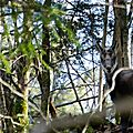 chamois - Rupicapra rupicapra (2)