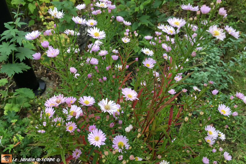 Aster-Ericoides-Cyrille