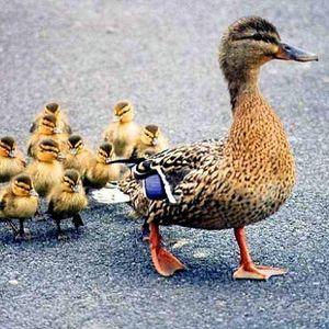 Canard parent et enfant chez gloewen et scrat
