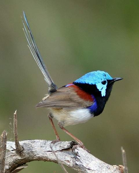 800px-Variegated_Fairy-wren_male