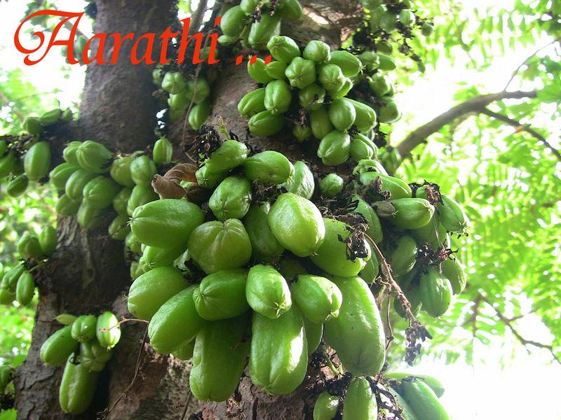 Bilimbi - Averrhoa bilimbi- Arbre à cornichons