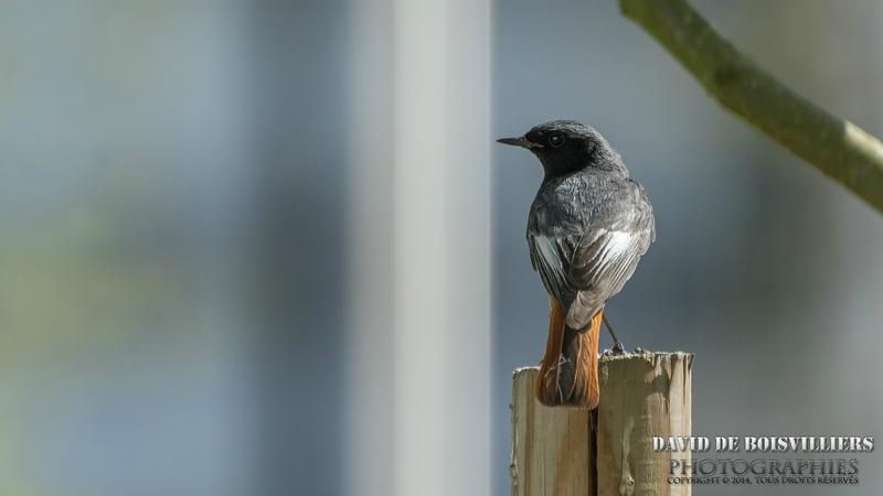 Rougequeue Noir (Phoenicurus ochruros - Black Redstart) ♂