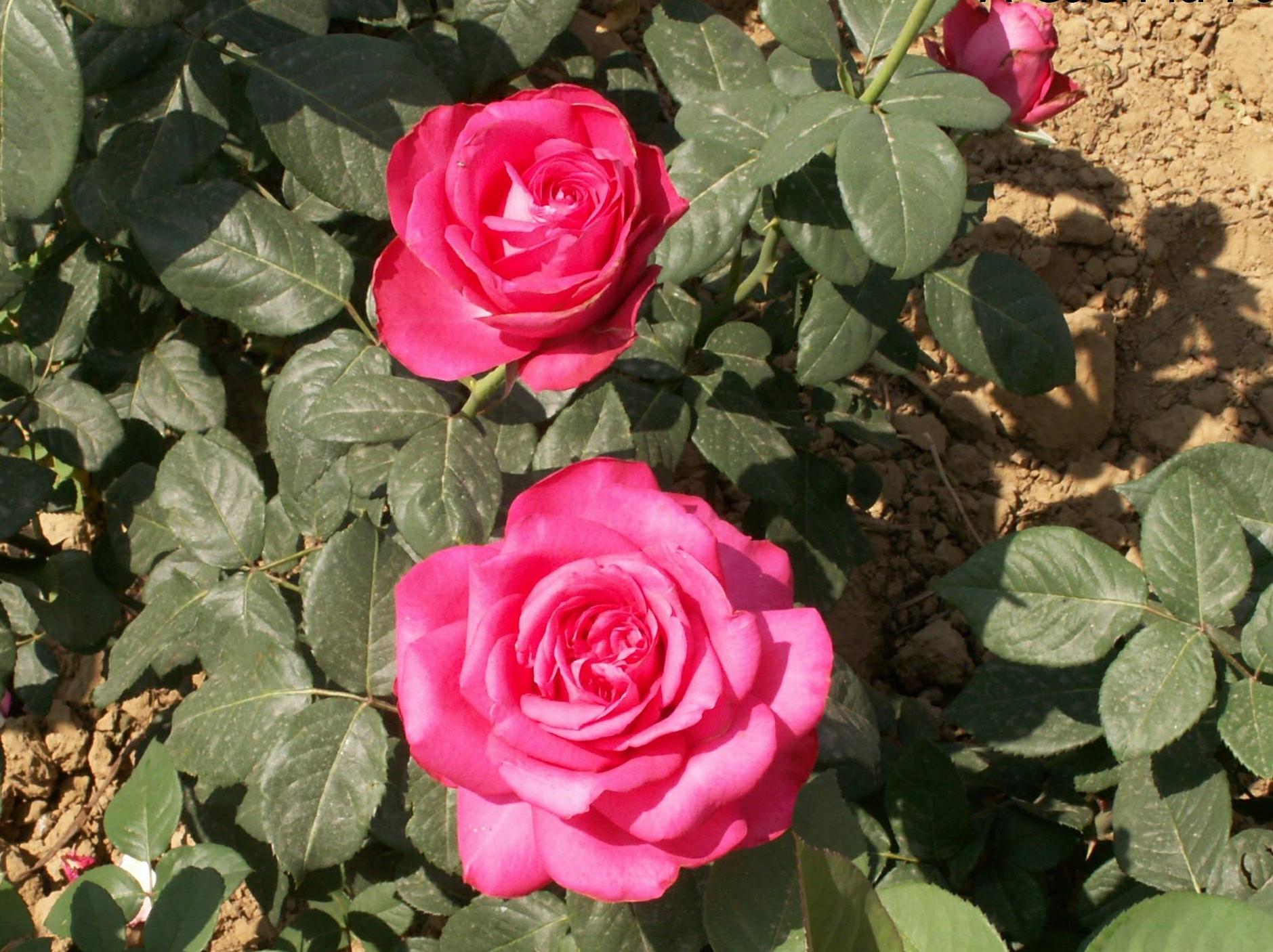 La rose A CAEN LA PAIX