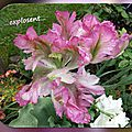 balanicole_2016_05_avril tulipes_43_explosent